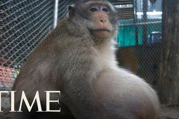 "Meet ""Uncle Fat"" - The Obese Monkey In Thailand Getting Sent To Fat Camp"